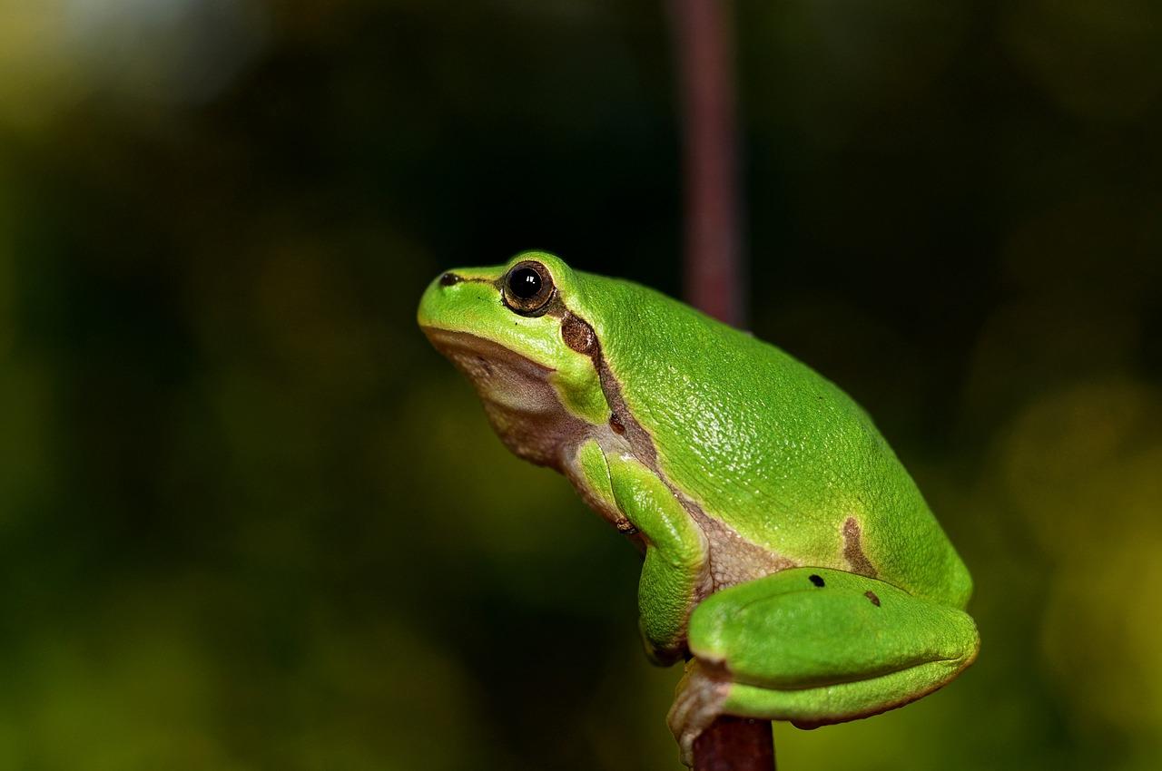 La primera rana fluorescente del mundo fue descubierta en Sudamérica